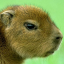 The Kapybara
